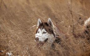 Picture look, each, dog, Siberian husky