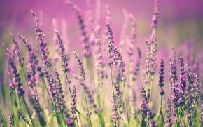 Picture flowers, flowers, lavender, flowering, bloom, lavender