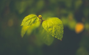 Picture leaves, drops, macro, foliage