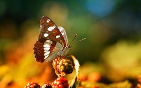 Picture macro, berries, butterfly, insect