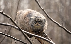 Wallpaper the Pallas cat, on the tree, manul, look, manul