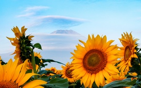 Picture the sky, mountain, sunflower, petals