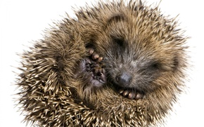 Picture small, barb, hedgehog