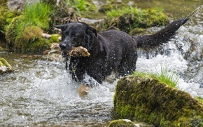 Picture summer, water, squirt, river, moss, dog, stick, ©Tambako The Jaguar