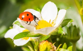 Picture flower, macro, ladybug, beetle, strawberry, insect