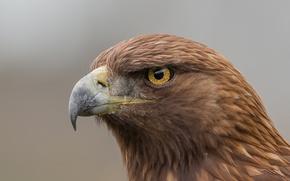 Picture eagle, eye, golden eagle