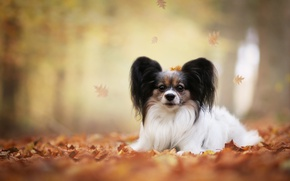 Picture autumn, leaves, dog, bokeh, Papillon, The continental toy Spaniel