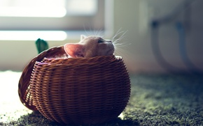 Picture cat, kitty, basket, ball, sphere, Ben Torode, Hannah