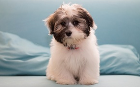 Picture dog, puppy, The Havanese