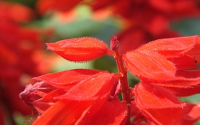 Picture macro, flowers, red