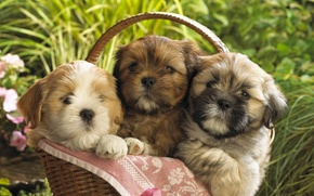 Picture basket, puppies, Dogs