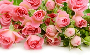 Picture roses, pink, flowers, roses