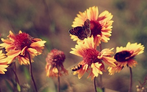 Picture summer, butterfly, heat, Flowers, marigolds, vintage