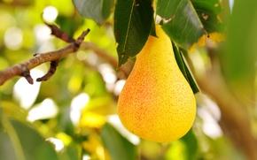 Picture the sun, food, blur, garden, fruit, pear, vitamins, dumb-dumb, fruit, bokeh, fruit, juicy, pear, wallpaper., …