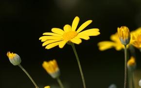 Picture Wallpaper, petals, Daisy, stem, Bud