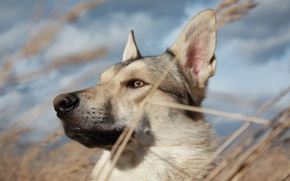 Picture face, dog, head, spikelets, Laika, feather
