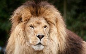 Picture cat, look, face, Leo, mane