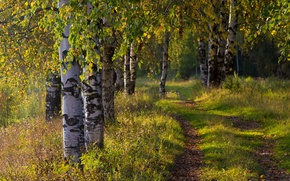Picture road, autumn, forest, birch
