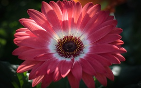 Picture flower, petals, gerbera