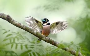 Picture leaves, bird, branch, open wings, wildlife, broadbill