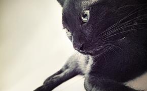 Picture wallpaper, black, animals, cat, cats