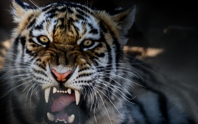 Picture tiger, mouth, fangs