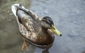 Wallpaper feathers, beak, duck