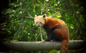 Picture Panda, red, firefox