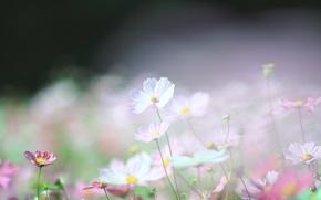 Picture macro, light, ease, glade, spring, blur, pink, white, kosmeya