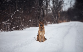 Picture snow, trees, the way, German shepherd
