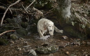 Picture nature, river, dog