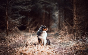 Picture forest, road, dog, australian shepherd, canine
