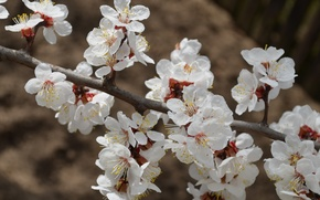 Picture macro, flowers, cherry, branch, spring, flowering, white color