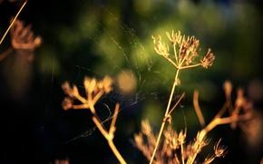 Wallpaper dill, macro, grass