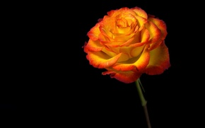 Picture flower, light, background, rose, shadow, petals