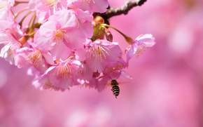 Picture macro, bee, spring, Sakura, gentle, flowering, blossom, beautiful, spring, bee, Flowering trees
