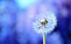 Picture macro, blue, background, dandelion, lilac