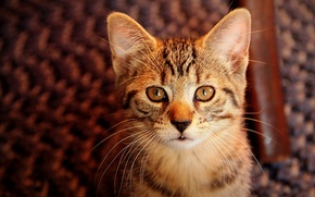 Picture portrait, look, grey, background, striped, kitty