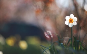 Picture white, flower, grass, macro, glare, blur, green, Narcissus