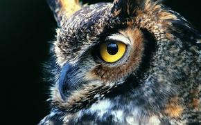 Picture look, background, owl, black