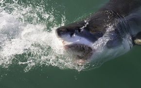 Picture water, squirt, fish, shark, mouth, White shark