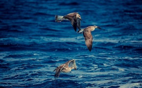 Picture sea, birds, hunting, photographer, Josef Kadela