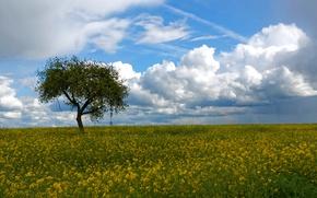 Picture field, the sky, clouds, tree, rape