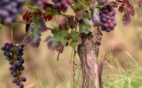 Picture nature, background, grapes