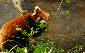Picture nature, red Panda, by shobehikaru