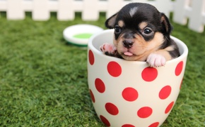 Picture grass, the fence, dog, Cup, puppy, Chihuahua