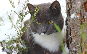 Picture cat, cat, snow, tree, trunk, thuja