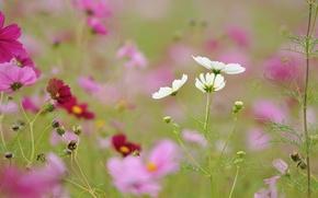 Picture field, grass, flowers, meadow, kosmeya