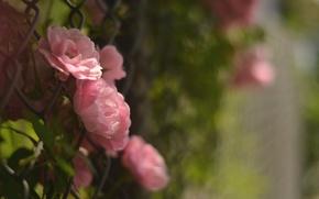 Wallpaper macro, flowers, the fence, petals, blur, pink, Camellia