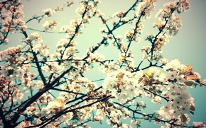 Wallpaper flowers, cherry, branch, spring